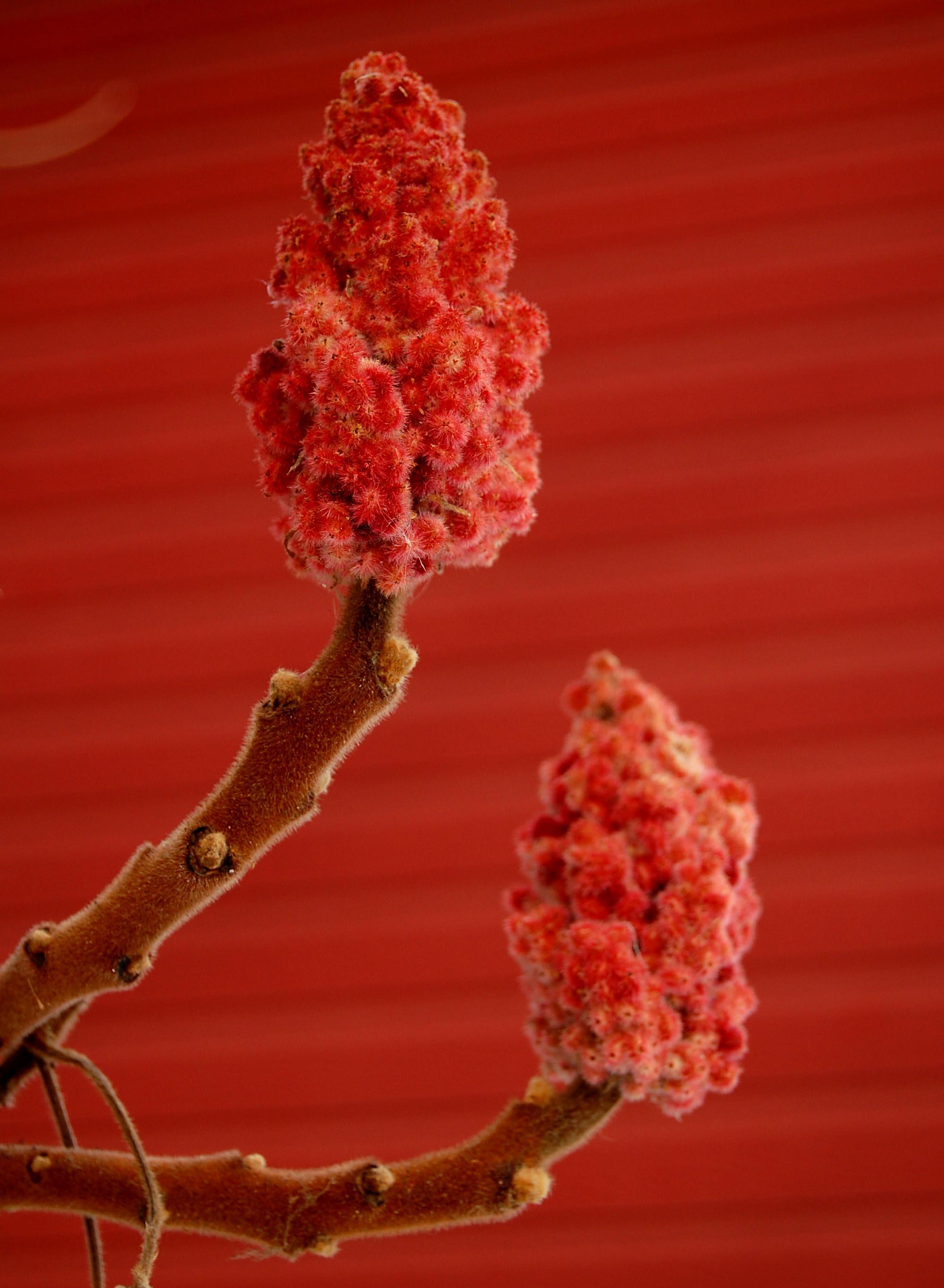 Red buds
